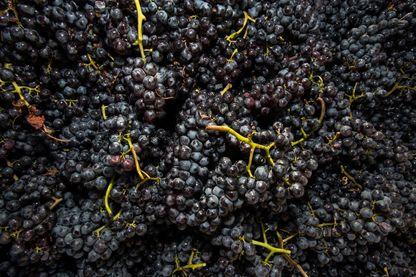 Les tannins sont également présents dans le raisin