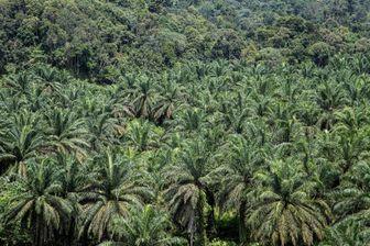Plantation de palmiers à huile, en Indonésie.