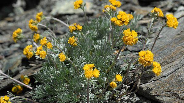 Génépi fleur