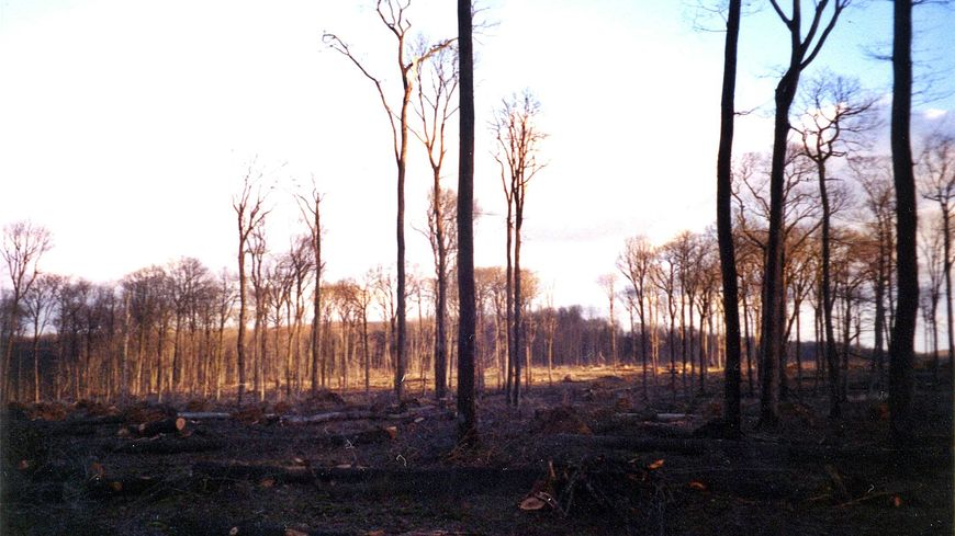 Des centaines d'arbres morts en forêt de Bercé après la tempête de 1999 en Sarthe