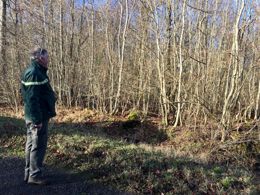 Les parcelles de reconstitution se multiplient dans la forêt de Haye.