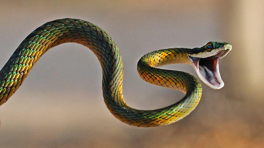 Froids, visqueux, piqueurs ? Ces trois idées fausses sur les serpents ont la vie dure.