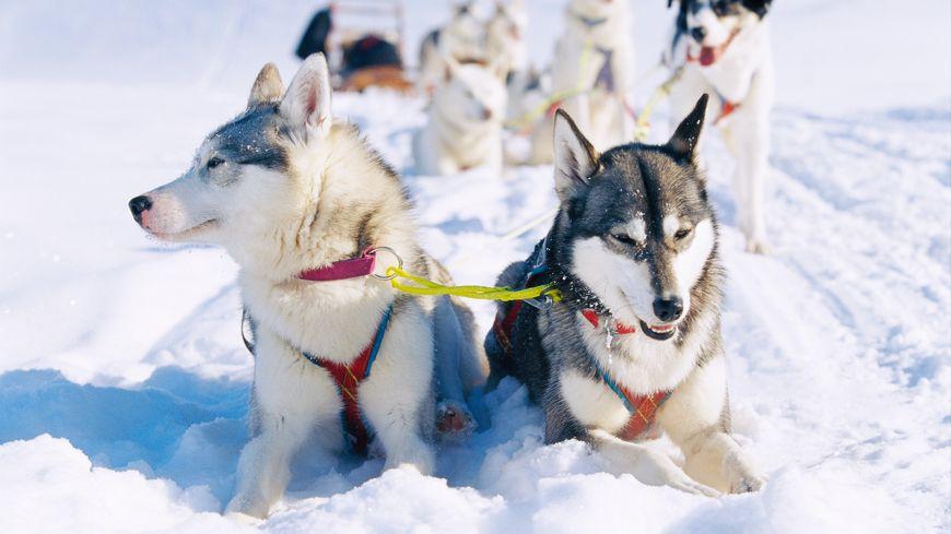 Les huskies, rois de la neige en Laponie