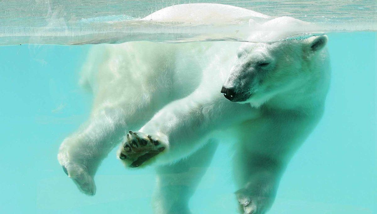 La trace de l'ours Olaf du zoo d'Amnéville retrouvée chez un équarrisseur