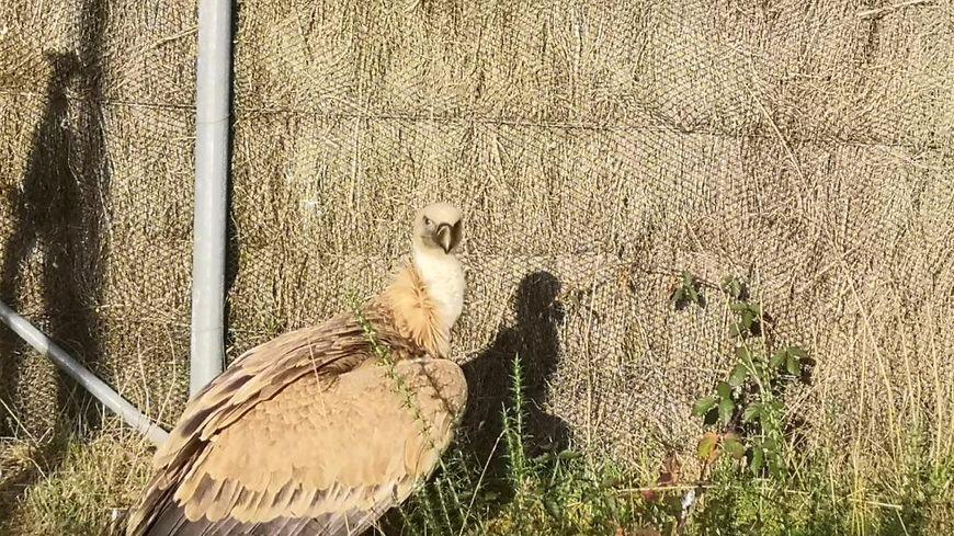 Le vautour fauve accueilli par le centre de soins Alca Torda