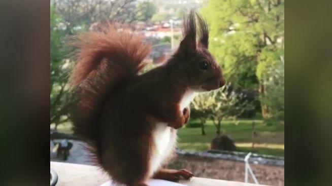 4 millions 783 000 internautes ont vu la vidéo d'Alvin l'écureuil de Trélissac