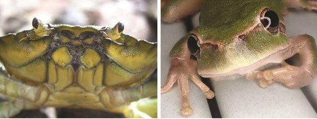Si ces deux individus étaient en danger de mort, lequel sauveriez-vous en priorité ? Le crabe ou la grenouille ?