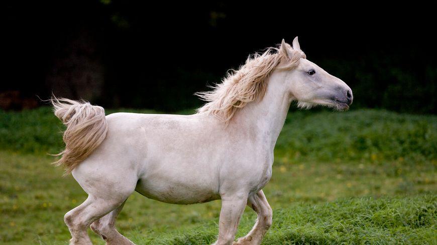 Département de la Somme en Picardie, cheval Boulonnais, race de chevaux de trait.