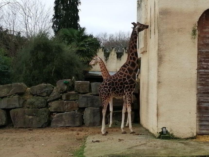 Dans le nouveau site, plus question d'approcher les giraphes ou les lions