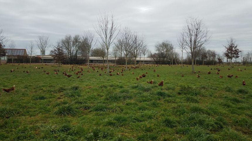 Les poules pondeuses de Xavier Poisson ont déjà une bonne partie de leur prairie boisée.