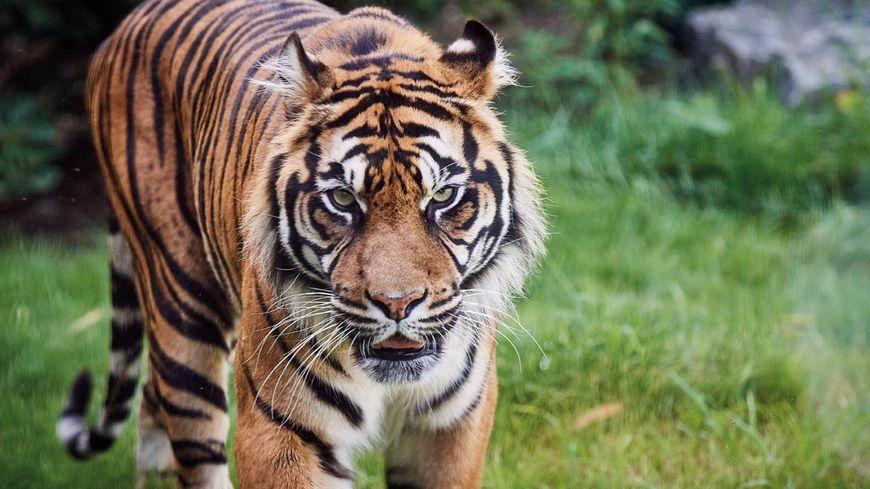 Le tigre de Sumatra, l'un des symboles du zoo de La Flèche qui a attiré 410 000 visiteurs l'an passé