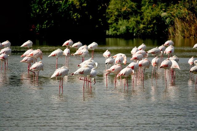 Repos des flamants rose en Camargue