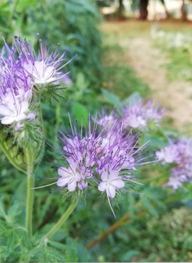 Des phacélies pour les abeilles