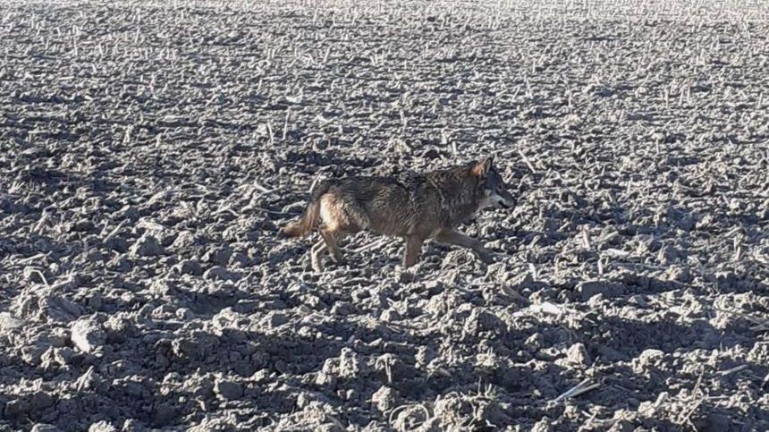 Le loup a été photographié le lundi 20 janvier 2020 à Gurat, en Charente, à la frontière avec la Dordogne