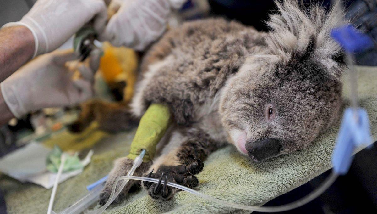 Incendies en Australie : le message de soutien du parc zoologique de Saint-Martin-la Plaine