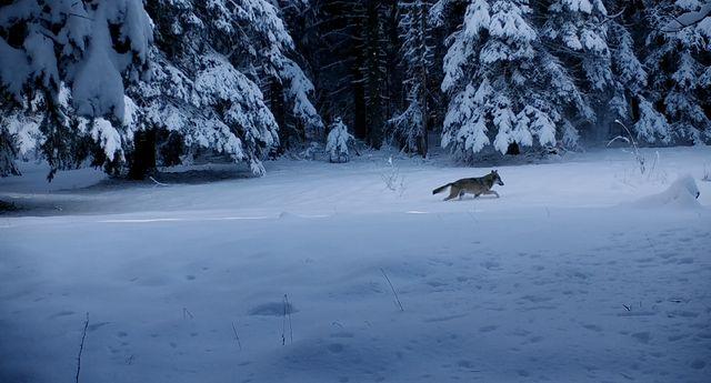 """Un loup saisi par la caméra de Jean-Michel Bertrand pour son film """"Marche avec les loups"""""""