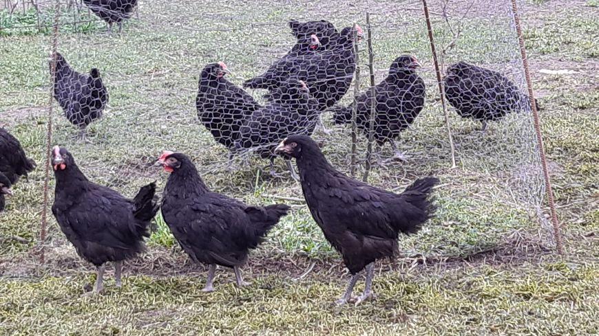 Quelques unes des poules noires du Berry de l'élevage de Plume Cane à Mézières en Brenne