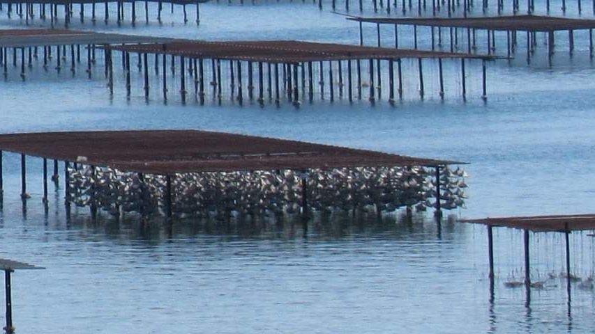 La récolte et la commercialisation des coquillages de l'Étang de Thau est interdite au moins jusqu'au 19 janvier après la découverte d'un norovirus