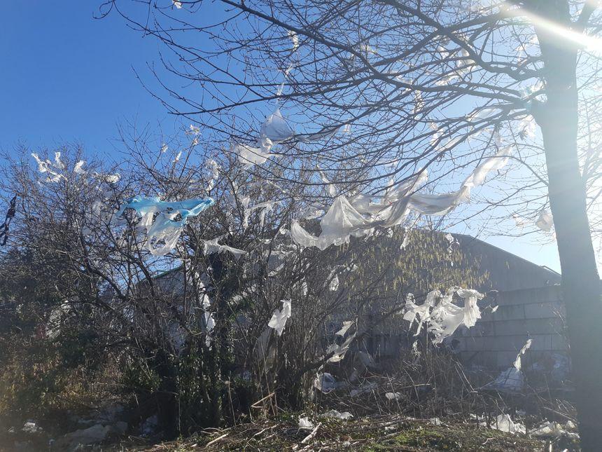 Les arbres recouverts de bandes de plastique blanc.