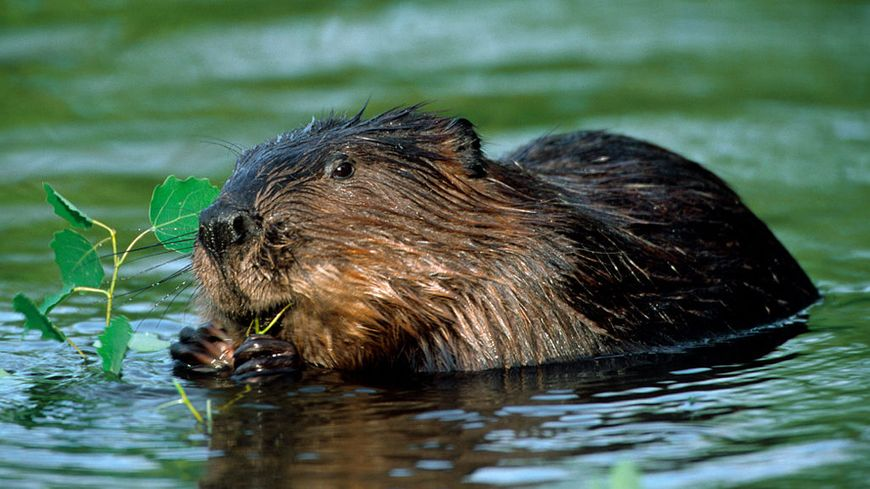 Le castor européen est de retour dans le Nord (photo d'illustration)