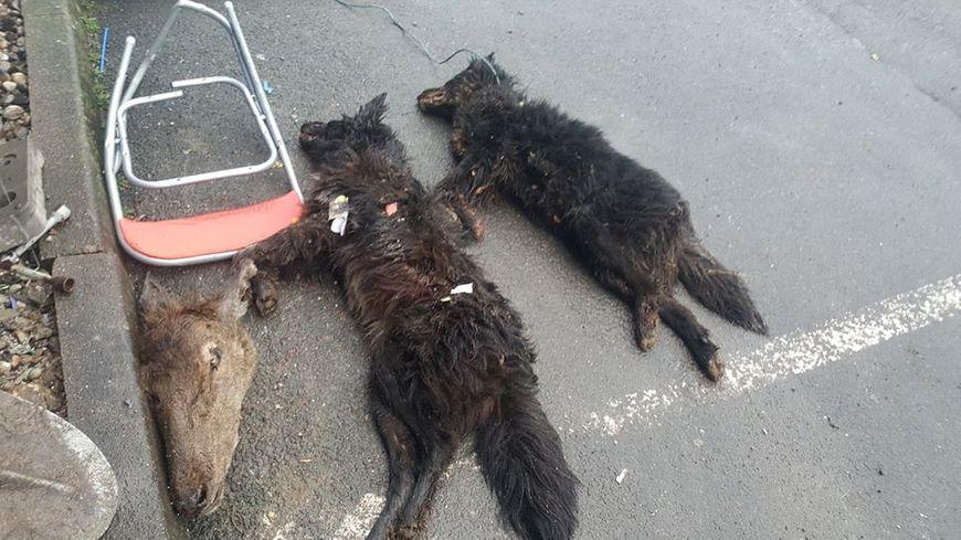 Les chiens ont été retrouvés vendredi dernier.