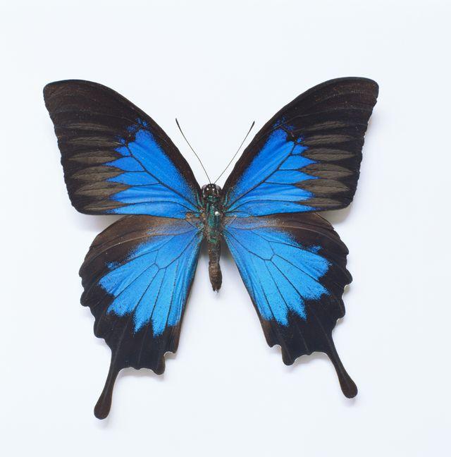 Le papillon Ulysse, que l'on trouve notamment à l'est de l'État du Queensland.
