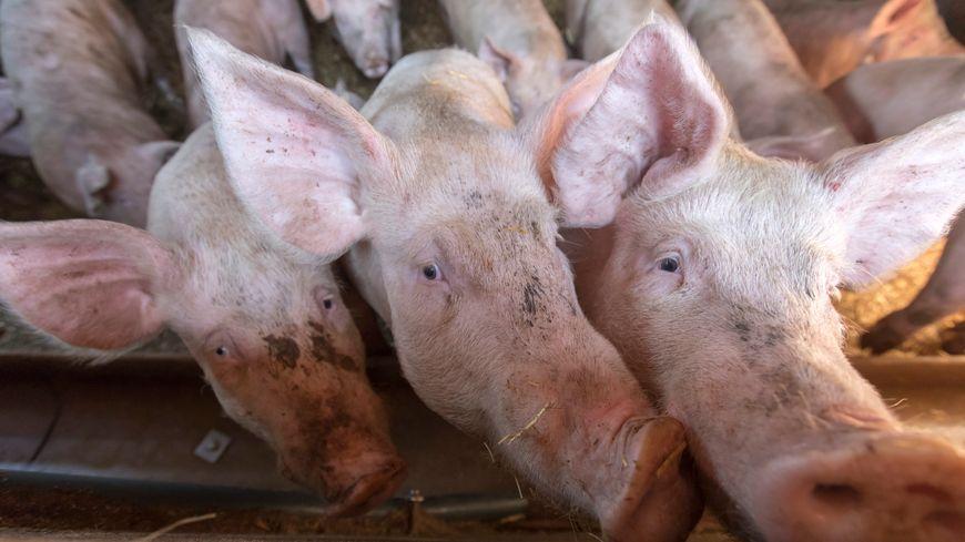 Polémique autour d'une porcherie industrielle à Durmignat (Puy-de-Dôme)