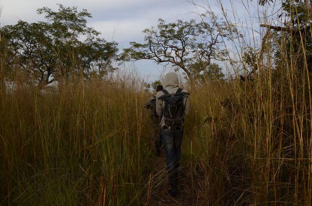 Les équipes de la Fondation pour les chimpanzés sauvages et de l'Office guinéen des parcs et réserves marchent des heures pour relever les enregistrements des caméras trappes
