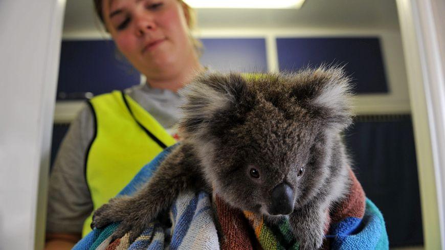 Les koalas sont les premières victimes de ces incendies en Australie