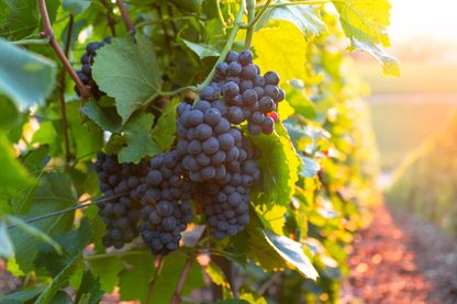 Les vignerons sont-ils prêts à sortir du glyphosate ?