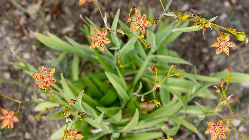 La fleur Léopard (Belancanda Chinensis)