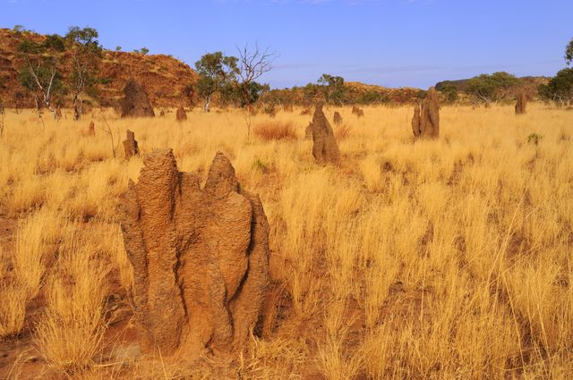 Les termites se nourrissent de bois sec ou de feuilles mortes consumés par les incendies.
