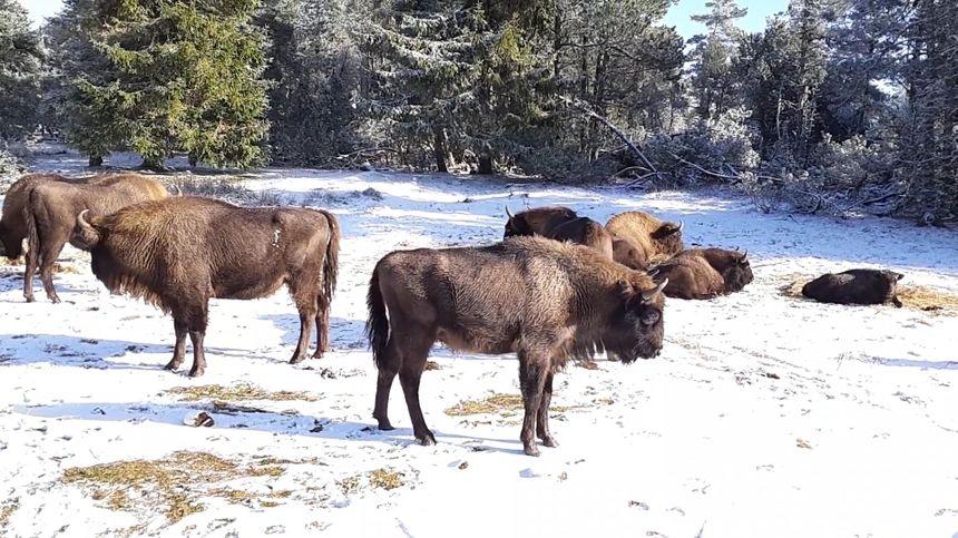 Il y a 1.500 ans environ, les bisons d'Europe vivaient en Margeride