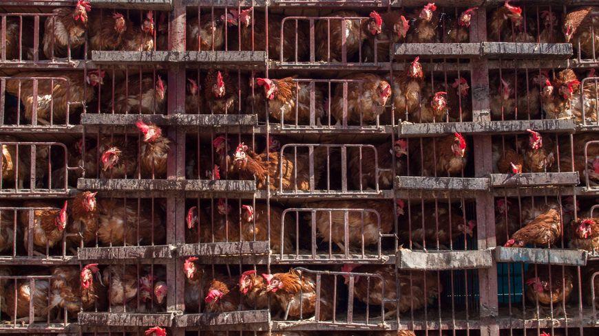 Poules en cage