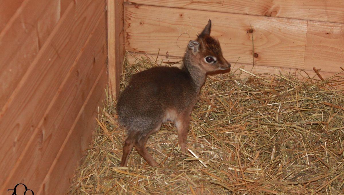 """Carnet rose : une """"mini"""" antilope est née au zoo d'Amiens"""