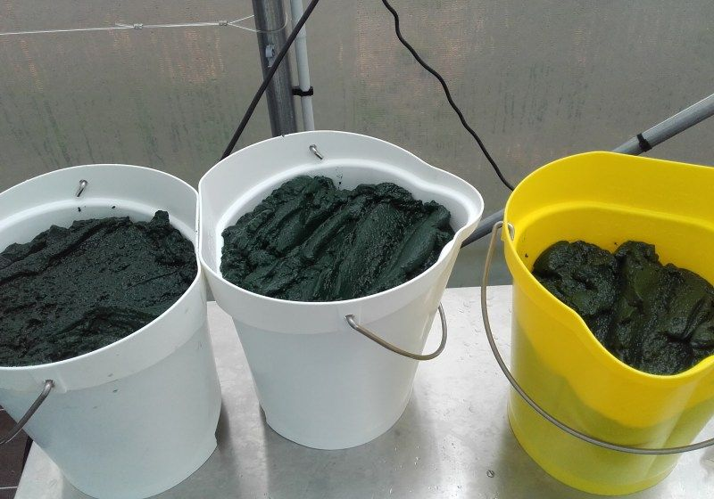 Spiruline en production