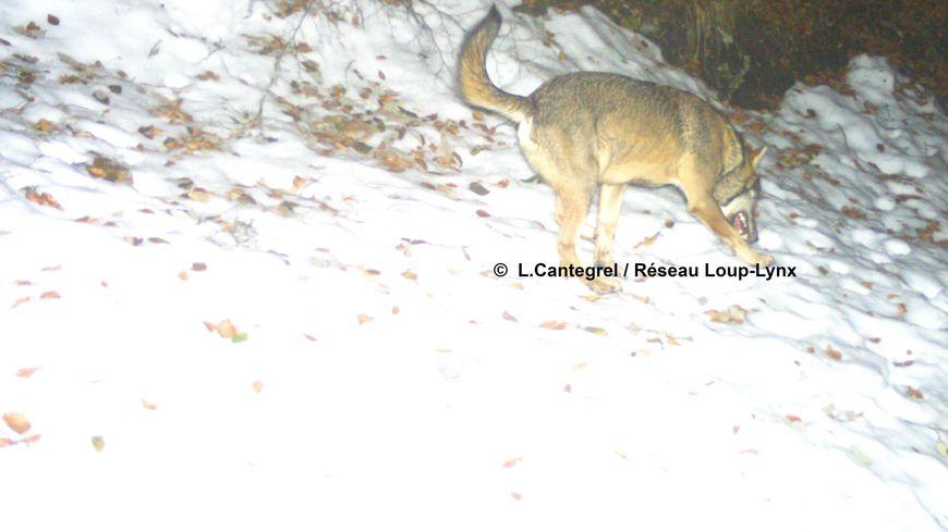 Le loup gris photographié par un piège automatique le 24 décembre dernier à Louvie Soubiron