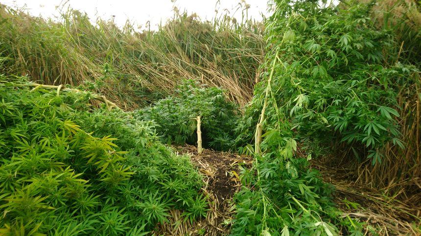 Des plants de cannabis étaient cultivés à Saint-Hippolyte