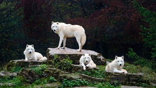 Sur les traces des jeunes loups
