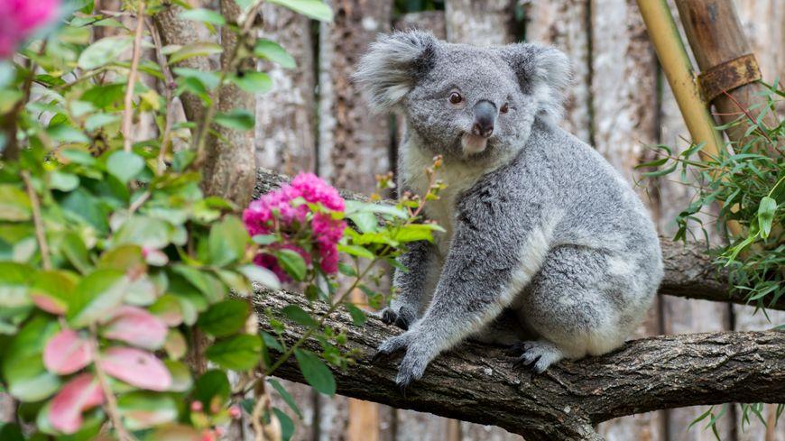 Un koala au Zoo de Beauval