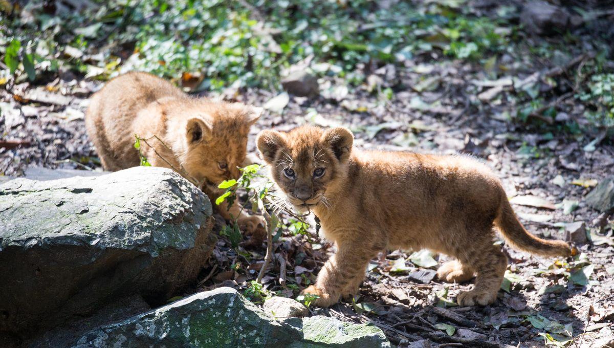 Vidéo : deux lionceaux accueillis dans la Loire