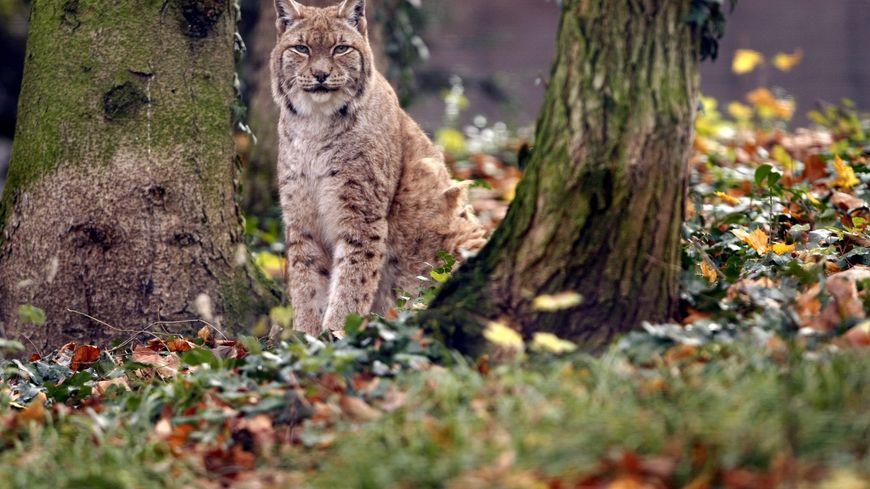 Lynx au jardin zoologique de Mulhouse, en 2014 (photo d'illustration)