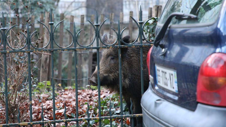 Des sangliers pris au piège dans un parc de Besançon