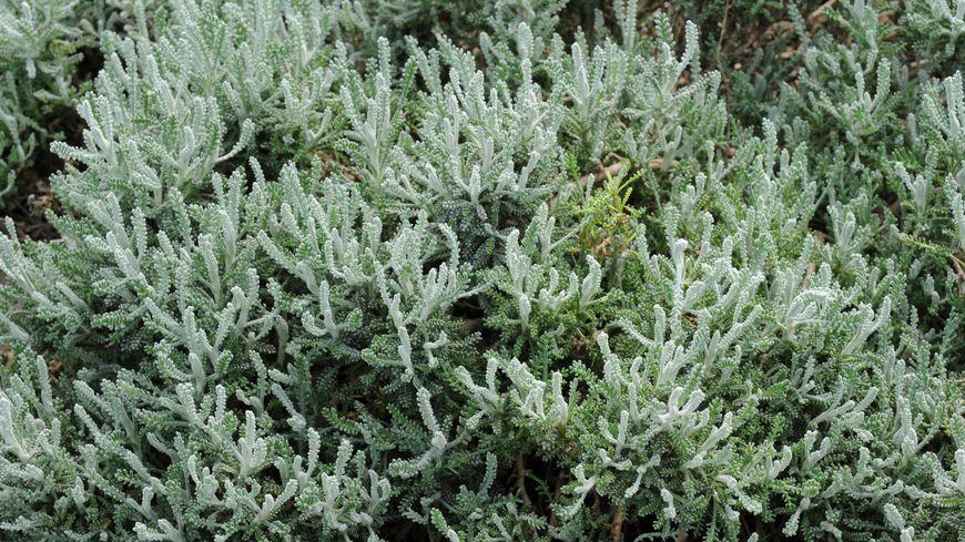 La santoline est une plante allélopathique