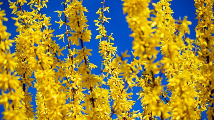 Les belles fleurs jaunes du Forsythia