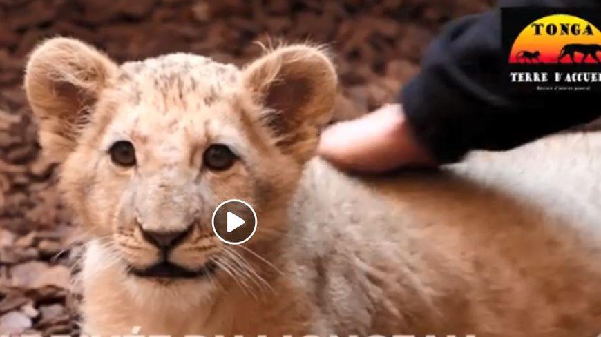 Un troisième lion est arrivé depuis le début de l'année.