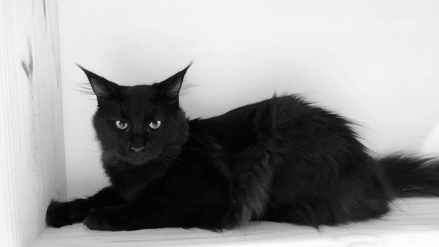 Umtiti, un des chats de Ronron et Gourmandises