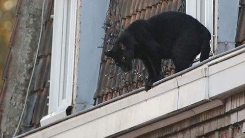 Une panthère sur les toits d'Armentières