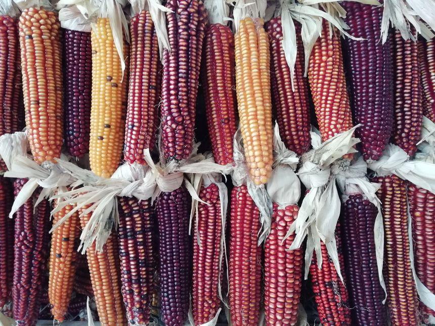 Le maïs Grand Roux Basque, Arto Gorria, donne des grains de couleurs variées, la palette allant de l'orangé vif, au rouge foncé presque violet