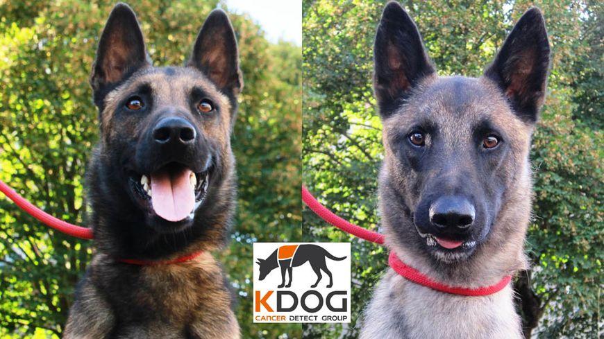 Les malinois Nykios et Thor ont été les deux premiers chiens formés, en Haute-Vienne, à détecter l'odeur du cancer du sein.